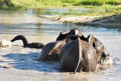 Elephants playing in the watering hole stock photos