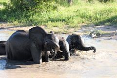 Elephants playing in the watering hole Royalty Free Stock Image