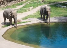 Elephants at the pond walking Stock Images