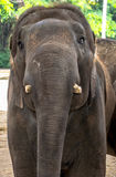 Elephants  portrait (Elephas maximus) Stock Photography