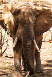 Elephants portrait. Here a huge male just in front of the camera Stock Photos