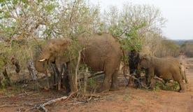 Elephants` portrait during a safari Royalty Free Stock Photo