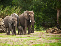 Elephants protecting baby. A group of elephants protects the baby of the herd Royalty Free Stock Photos