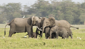 Elephants protecting new born calf. Royalty Free Stock Photos