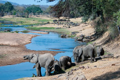 Elephants quenching thirst Royalty Free Stock Photography