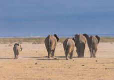 Elephants, rear view, amboseli, Kenya Stock Photography