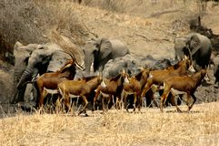 Elephants and Red Sables. A herd of elephants chasing red sables from a wildlife watering hole Stock Photos