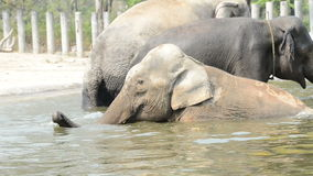 Elephants relaxes in water stock footage