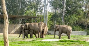 Elephants relaxing on asunny day in chatver zoo chandigarh stock photography