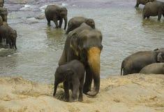 Elephants on the river Stock Photos