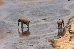 Elephants at the river Royalty Free Stock Photography