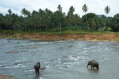 Elephants in the river Royalty Free Stock Photo
