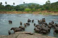 Elephants in the river Stock Images