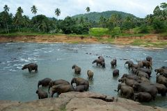 Elephants in the river Royalty Free Stock Photography