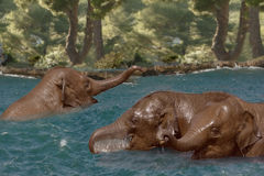 Elephants in the River. Young Asian Elephants cool off and play in the river Stock Photo