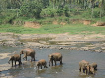 Elephants on the river Stock Photography