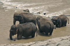 Elephants in the river Stock Image