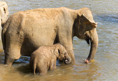 Elephants in river Stock Photography