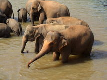 Elephants in river Royalty Free Stock Image