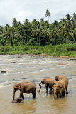 Elephants in River Stock Images