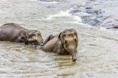 Elephants in the river Maha Oya at pinnawala. Elephant orphanage stock photo