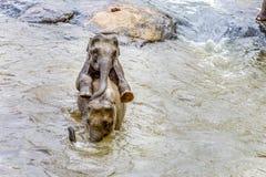 Elephants in the river Maha Oya at pinnawala. Elephant orphanage stock images