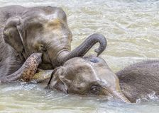 Elephants in the river Maha Oya at pinnawala. Elephant orphanage royalty free stock photography