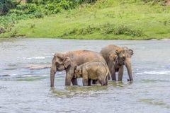 Elephants in the river Maha Oya at pinnawala. Elephant orphanage royalty free stock photo