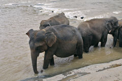 Elephants in the river Royalty Free Stock Photos