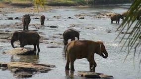 Elephants in river stock video footage