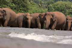 Elephants in river. Elephants walking in the cool water of a flowing river royalty free stock images