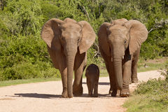 Elephants on a road Royalty Free Stock Images