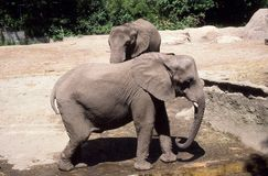 Elephants at Roger Williams Park Zoo Royalty Free Stock Photography