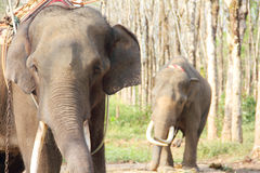 Elephants on rubber tree plantation Stock Photos
