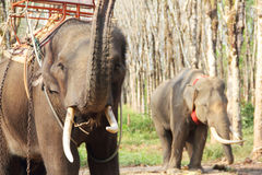 Elephants on rubber tree plantation Royalty Free Stock Images