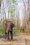 Elephants on rubber tree plantation Royalty Free Stock Photo