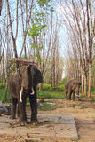 Elephants on rubber tree plantation Stock Image