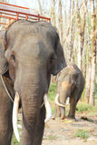 Elephants on rubber tree plantation Stock Photography