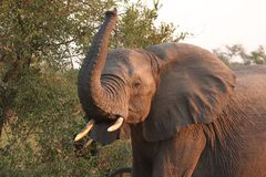 Elephants in the Sabi Sands Private Game Reserve. South Africa Stock Photography