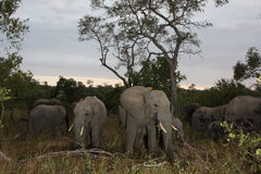 Elephants in the Sabi Sands Private Game Reserve. South Africa Royalty Free Stock Image