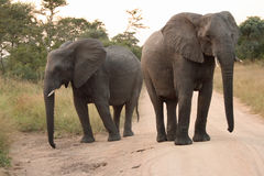 Elephants in the Sabi Sands Private Game Reserve Royalty Free Stock Photos
