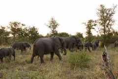 Elephants in the Sabi Sands Private Game Reserve Royalty Free Stock Images