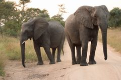 Elephants in the Sabi Sands Private Game Reserve Stock Image