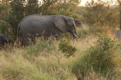 Elephants in the Sabi Sands Private Game Reserve Stock Images
