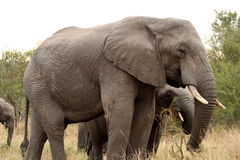 Elephants in the Sabi Sands Private Game Reserve. South Africa Stock Photo