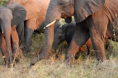 Elephants in the Sabi Sands Private Game Reserve Stock Photos