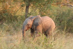 Elephants in the Sabi Sands Private Game Reserve. South Africa Royalty Free Stock Images