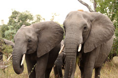 Elephants in the Sabi Sands Private Game Reserve. South Africa Royalty Free Stock Photos