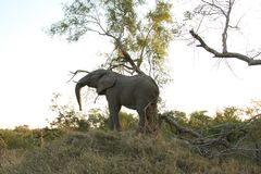 Elephants in the Sabi Sands Private Game Reserve Stock Photography