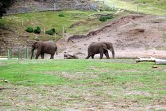 Elephants in a safari park, England Stock Images